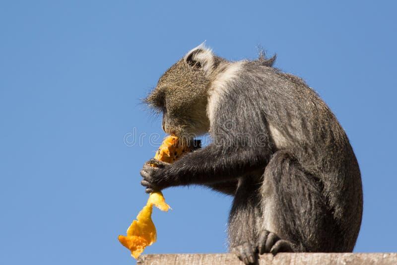 Kleiner Fallhammer, der eine Mango isst lizenzfreie stockfotos