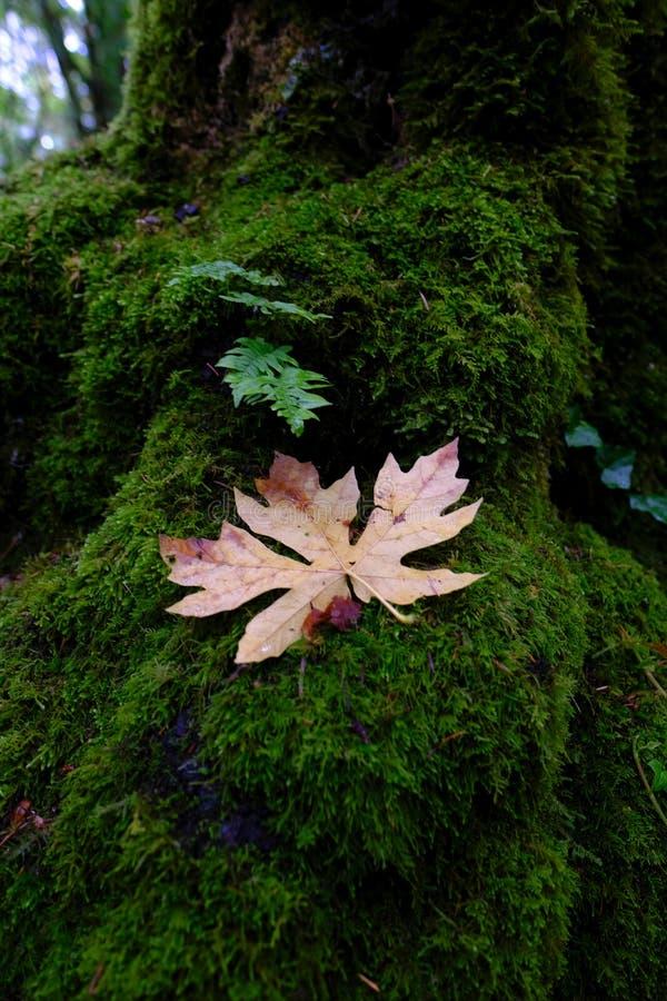 Kleiner Farn und braunes Blatt auf einem moosigen Stumpf im Wald lizenzfreie stockfotos