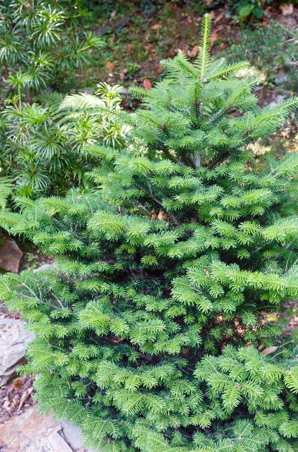 Kleiner flaumiger grüner Tannenbaum. lizenzfreies stockfoto