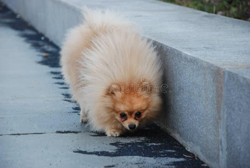 Kleiner flaumiger Hund geht in den Park stockfotografie