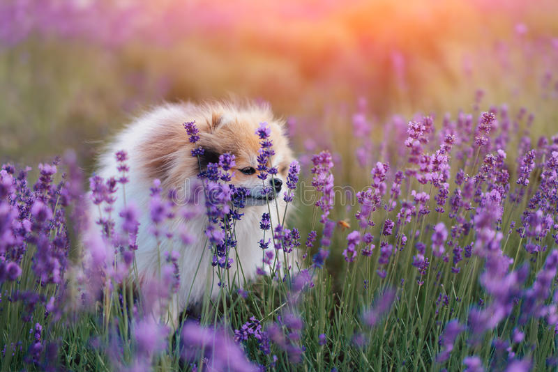 Kleiner flaumiger pomeranian Hund in einem heißen Sommer mit Lavendelfeld stockfotos