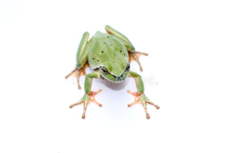 Kleiner Frosch stockbild
