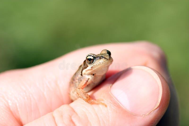 Kleiner Frosch. lizenzfreie stockbilder