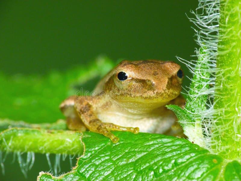 Kleiner Frosch auf Blatt lizenzfreie stockfotografie