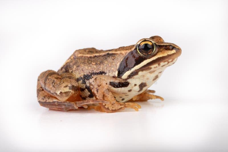 Kleiner Frosch auf einer weißen Tabelle in einem Fotostudio Eine kleine Amphibie von Mitteleuropa lizenzfreies stockbild