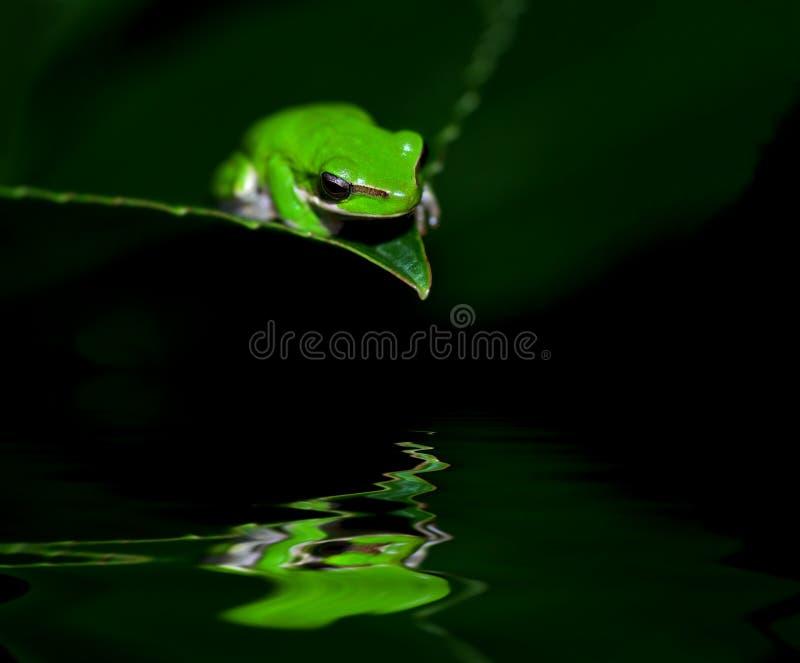 Kleiner Frosch in der Betrachtung lizenzfreie stockfotografie
