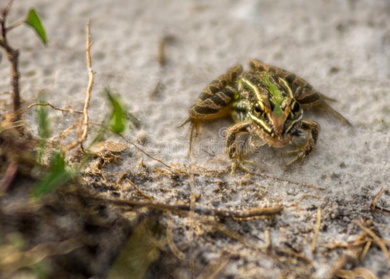 Kleiner Frosch stockfotos