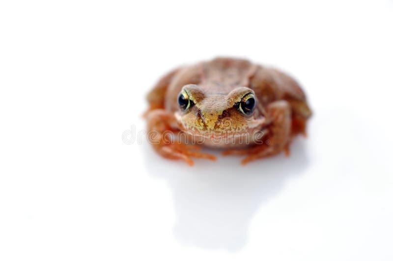 Kleiner Frosch sehr nah oben lizenzfreie stockfotografie