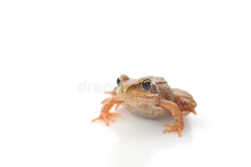 Kleiner Frosch sehr nah oben stockbild