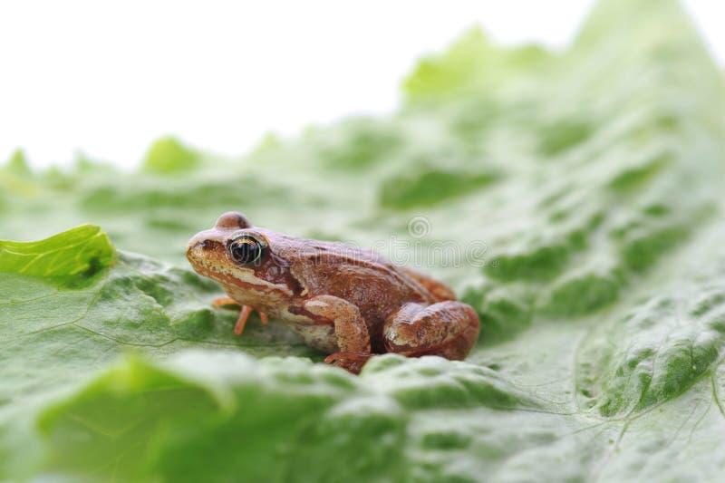 Kleiner Frosch sehr nah oben stockbilder