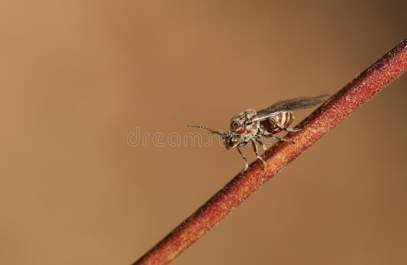 Kleiner Gall Wasp, der auf einem Zweig im Waldland in Großbritannien hockt lizenzfreie stockbilder