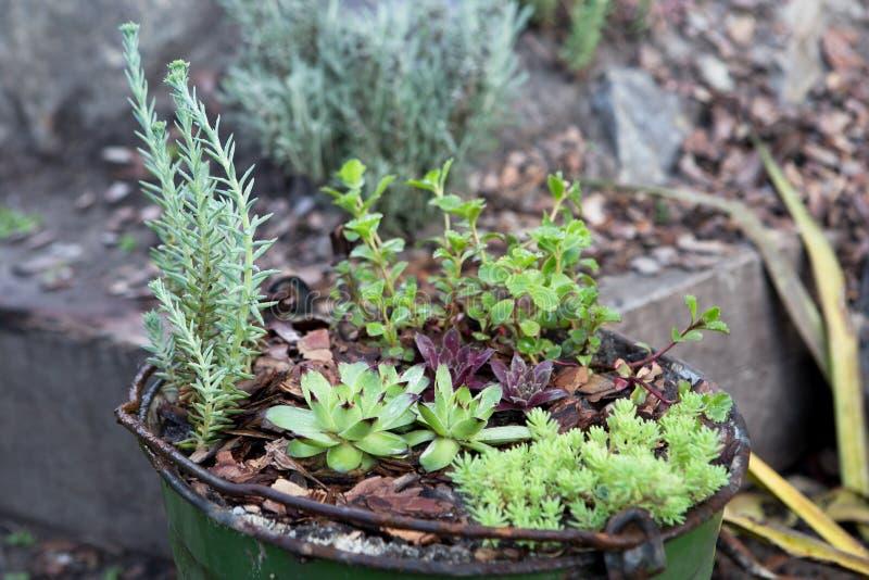 kleiner Garten in einem alten Eimer - Gartenarbeitkonzept lizenzfreie stockfotografie