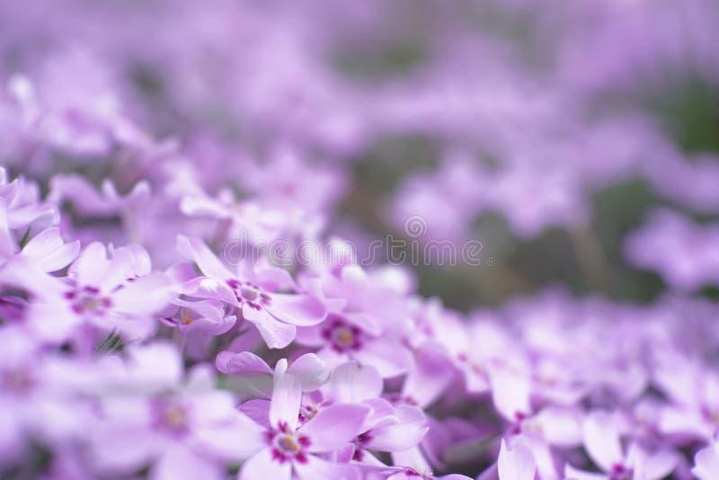 Kleiner Garten füllte mit hellpurpurner Blumenmakrowelt lizenzfreie stockfotos