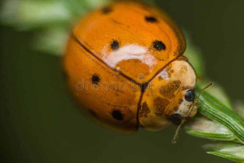 Kleiner gelber polkadot Marienkäfer auf dem Gras stockfotografie