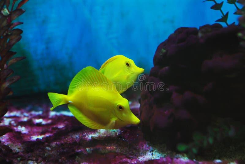 Kleiner gelber Quakfisch stockfotografie