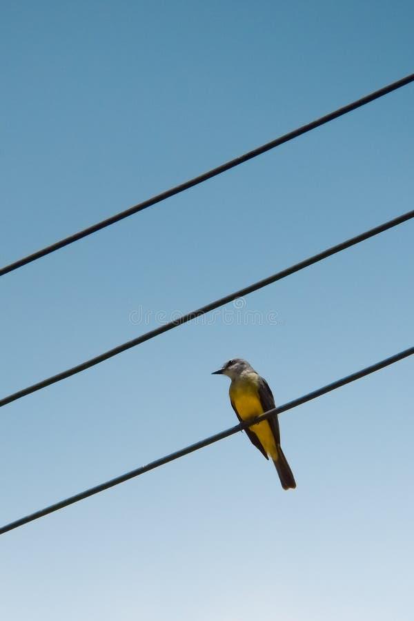 Kleiner gelber Vogel im Energiekabel stockfotos