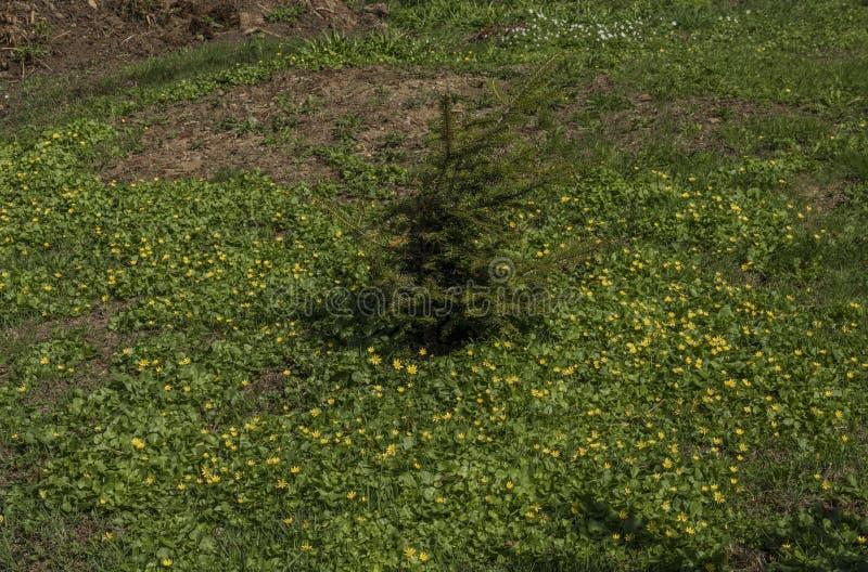 Kleiner gezierter Baum auf Frühlingswiese stockbild
