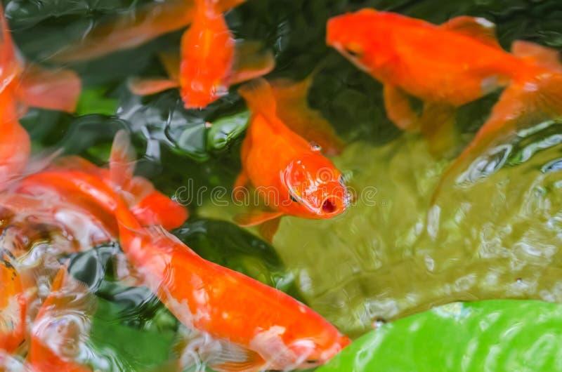 Kleiner Goldfisch in einem Teich stockbilder