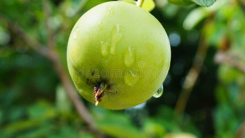 Kleiner grüner Apfel im Regen Sommer stockbilder
