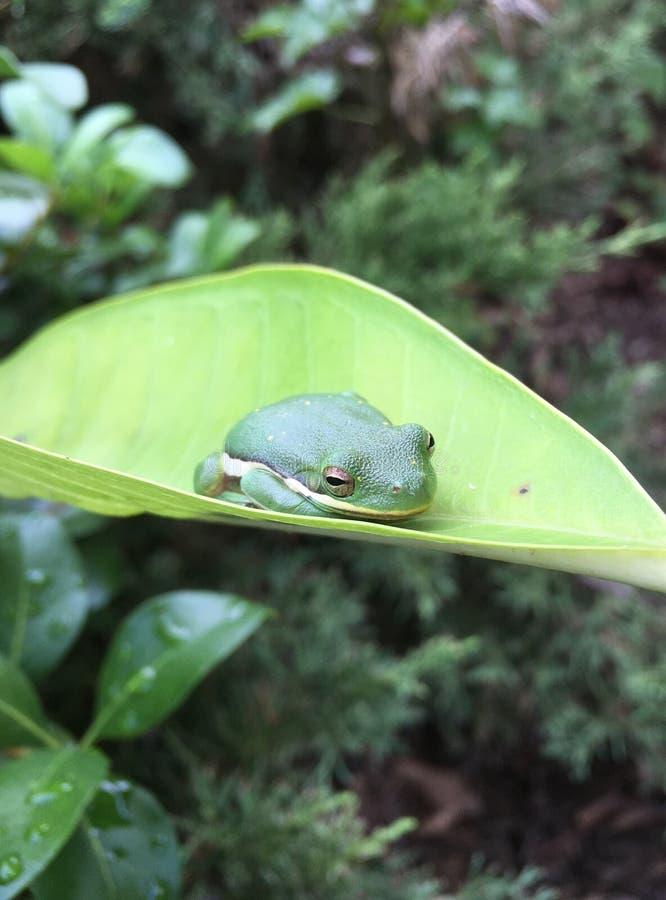 Kleiner grüner Frosch stockfotos