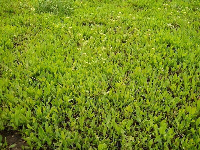 Kleiner grüner Rasen gefüllt mit jungem Gras stockbild