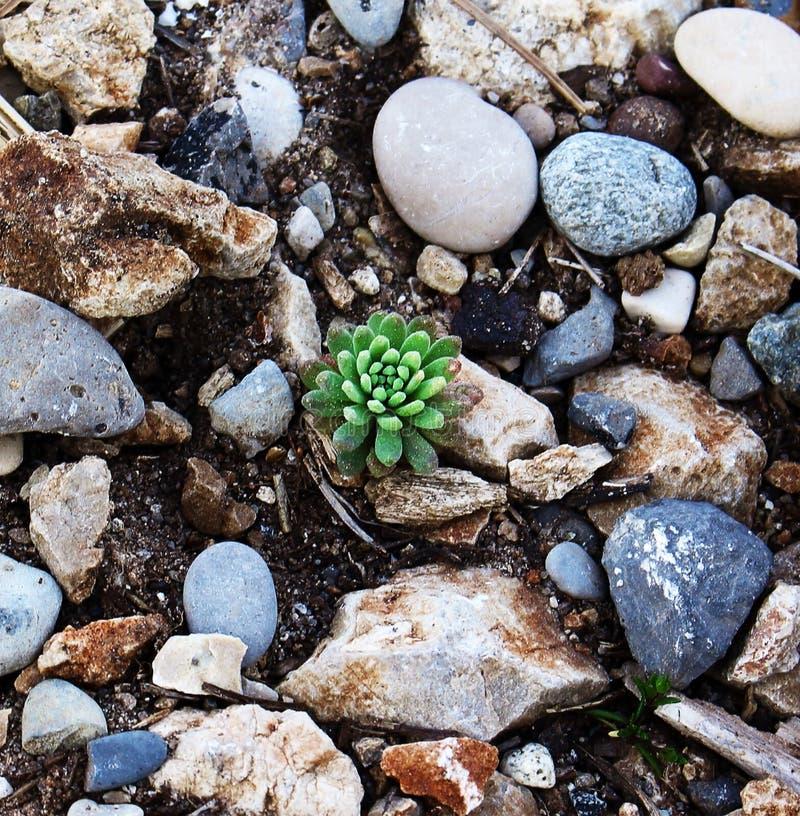 Kleiner grüner Zuckeranbau auf dem Boden mit Steinen lizenzfreie stockbilder