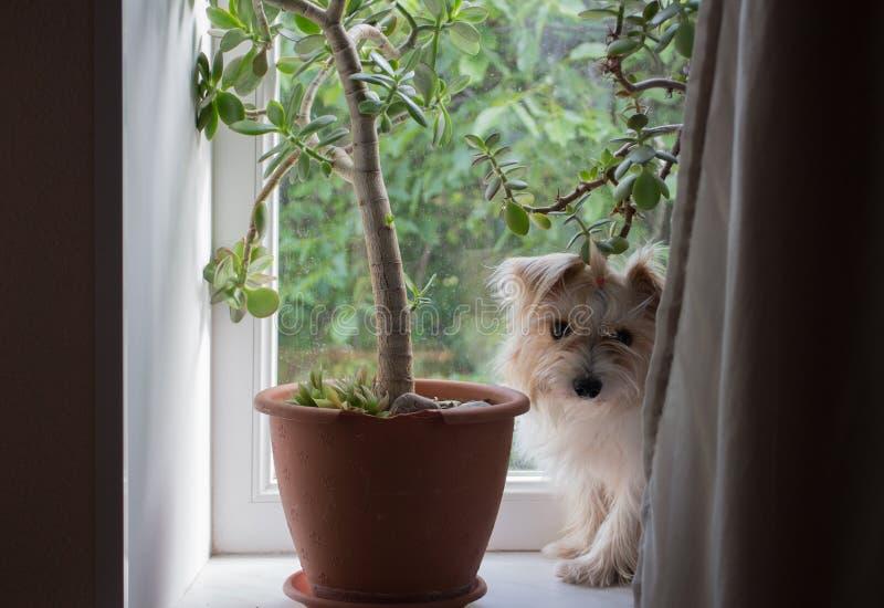 Kleiner h?bscher Hund vor dem Fenster stockfotos