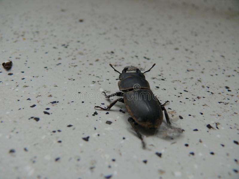 Little stag beetle stock photos