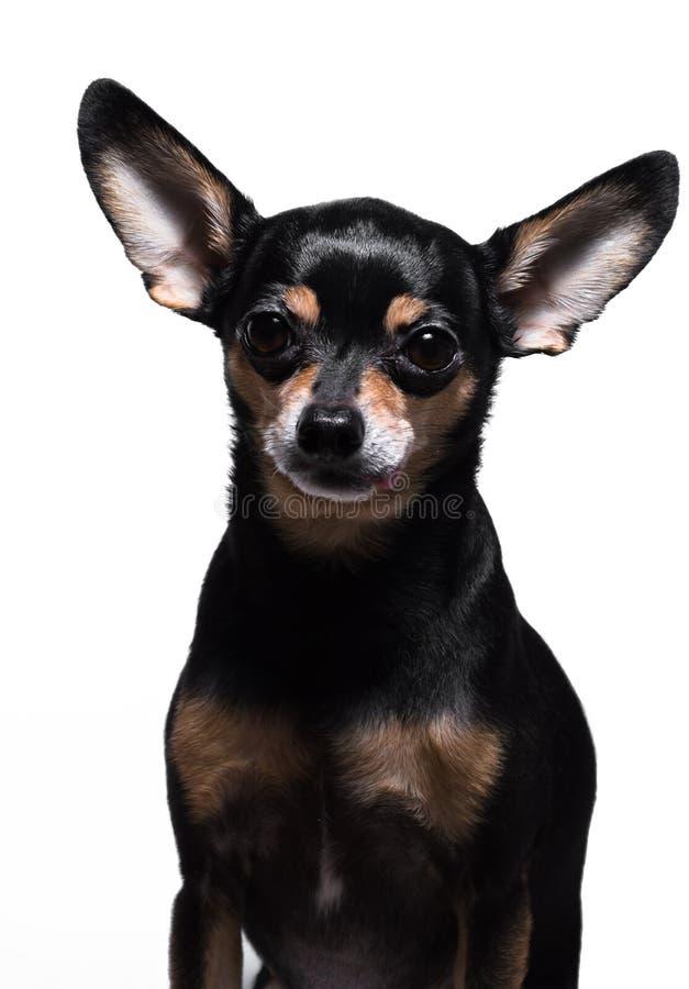 Kleiner Hund stockbild
