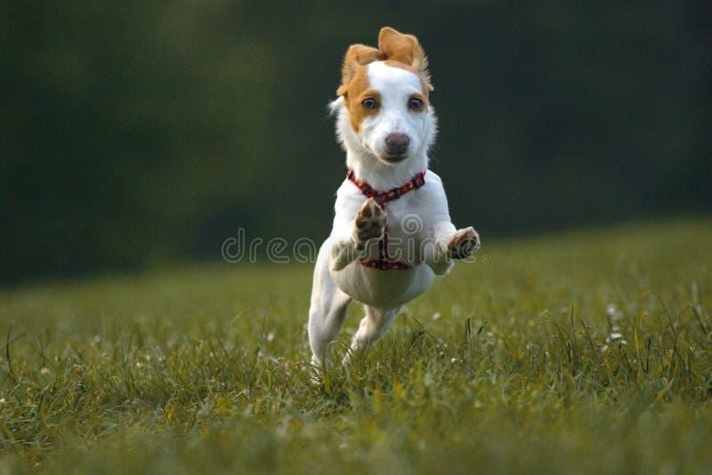 Kleiner Hund lizenzfreies stockfoto