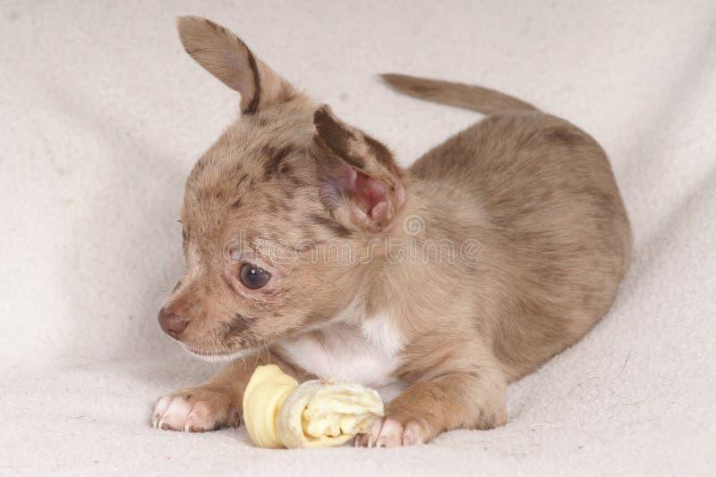 kleiner Hund, der einen Knochen kaut lizenzfreie stockfotos