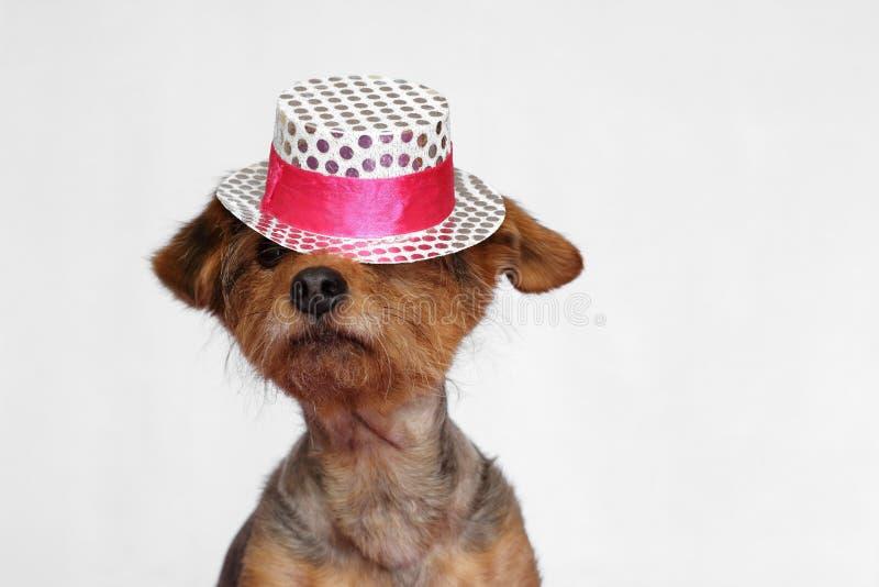 Kleiner Hund, der einen weißen und rosa Hut trägt, der auf seine Augen fällt lizenzfreies stockbild