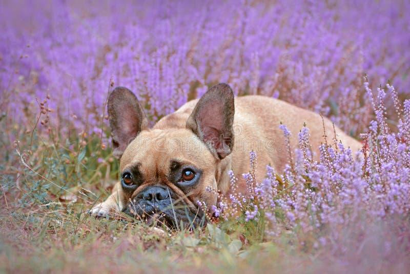 Kleiner Hund der französischen Bulldogge, der sich zwischen purpurrotem Feld der blühenden Heide 'gemeine Anlagen des Calluna hin lizenzfreie stockfotografie