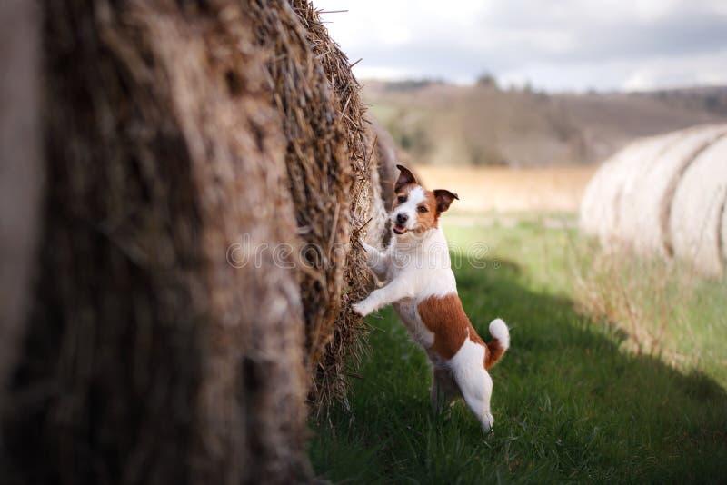 Kleiner Hund durch einen Heuschober Haustier auf der Natur lizenzfreies stockbild
