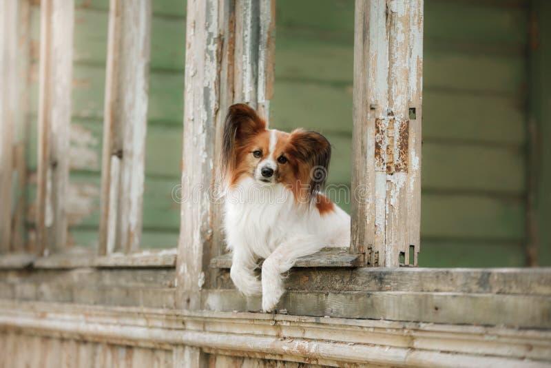 Kleiner Hund im Fenster Papillon lizenzfreie stockfotografie