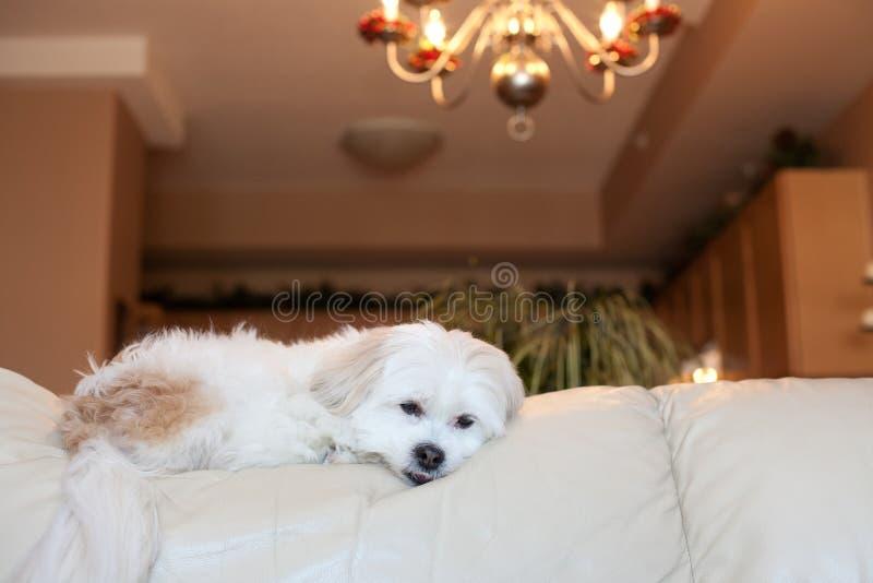 Kleiner Hund legt auf Couch zu Hause stockbild