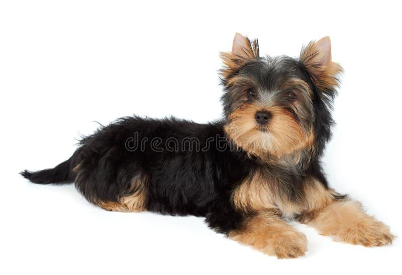 Kleiner Hund liegt auf Weiß lizenzfreies stockfoto