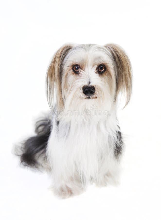 Download Kleiner Hund Mit Langem Pelz Stockbild - Bild von mini, hunde: 47101235