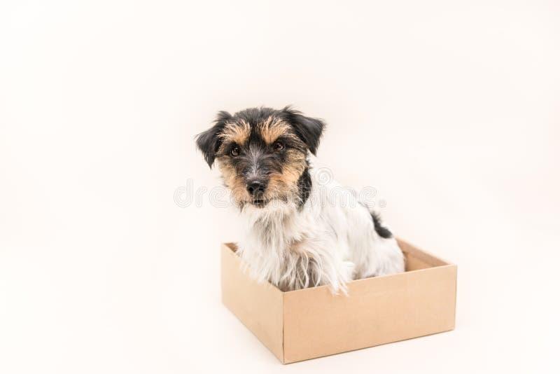 Kleiner Hund sitzt ergeben in einer Pappschachtel bereiten Sie für das Verschicken vor Nettes Jack Russell Terrier-Hündchen 4 Jah stockbild