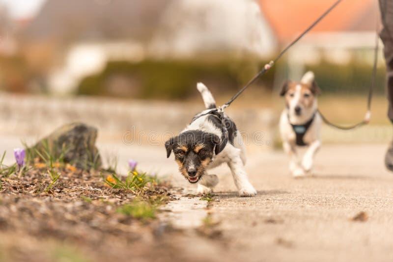 Kleiner Hund zieht auf eine Leine beim Gehen, Jack Russell Terrier-Hündchen 2 Jahre alt stockfotografie