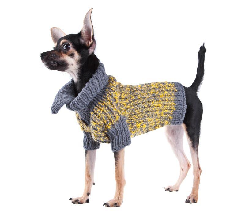 Kleiner Hundespielzeugterrier in der Kleidung stockfoto