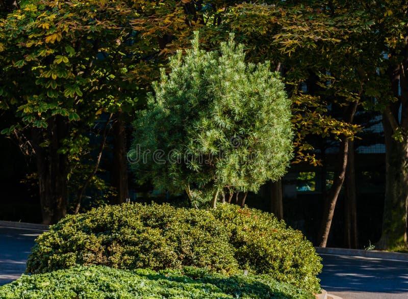 Kleiner immergrüner Baum am hellen sonnigen Tag lizenzfreie stockbilder