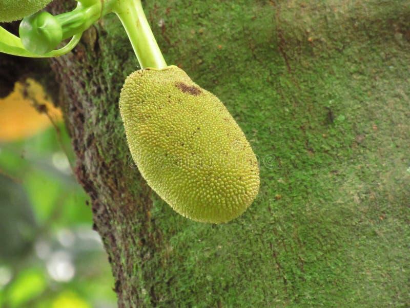 Kleiner Jackfruit noch befestigt zum Steckfassungsbaum stockfoto