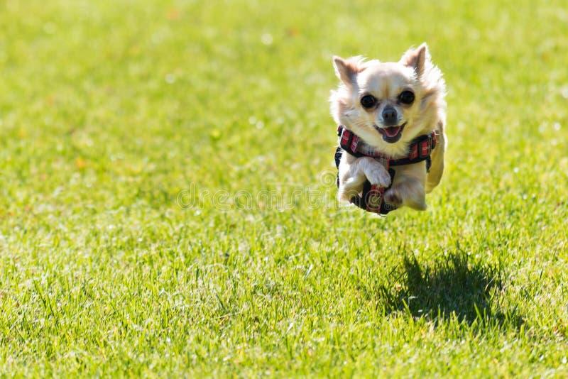 Kleiner junger netter Chihuahuahund läuft stockfoto