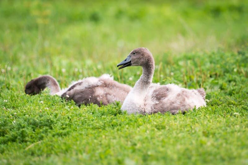 Kleiner junger Schwan oder Cygnet im Gras stockfoto