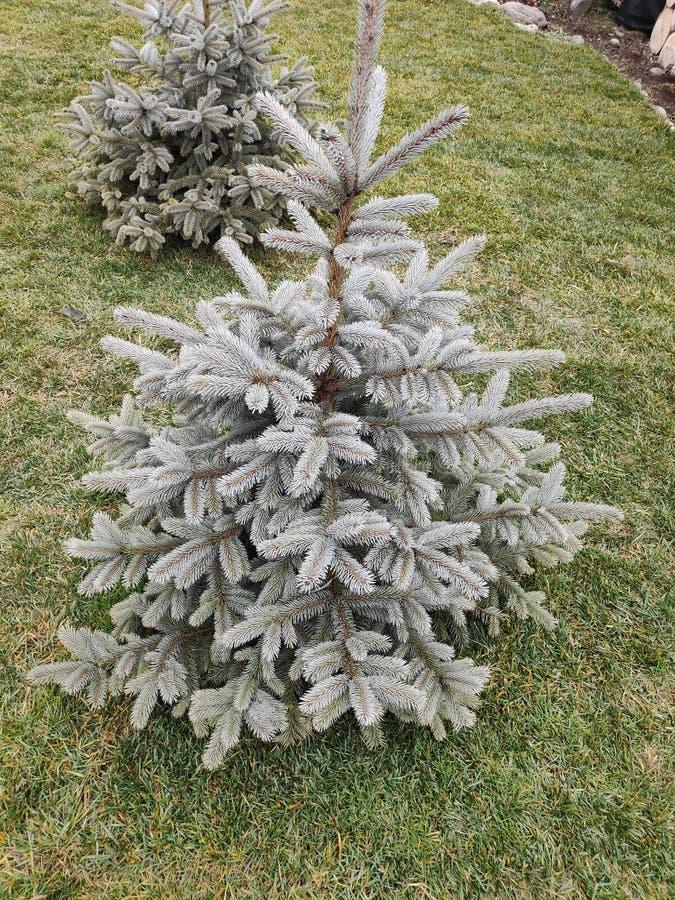 Kleiner Kiefernbaum mit grünen weißen Farben lizenzfreie stockbilder