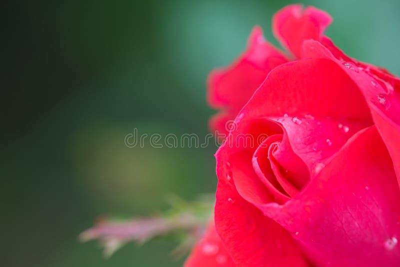 Kleiner knockout roter Rosebud lizenzfreie stockfotos