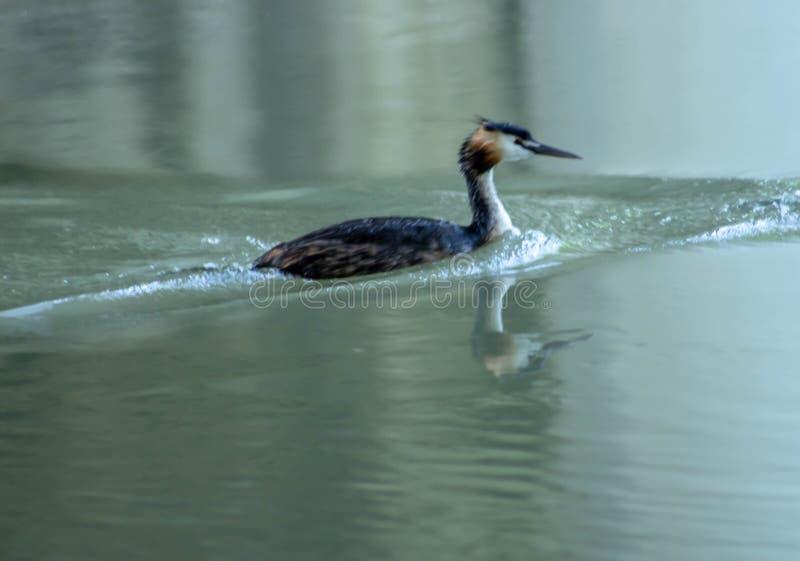 Kleiner Kormoran, der friedlich auf dem sile Fluss schwimmt stockfoto