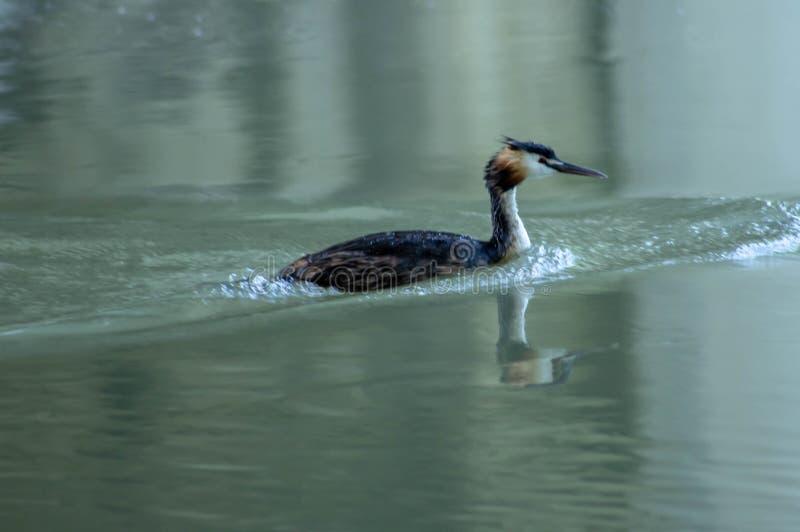 Kleiner Kormoran, der friedlich auf dem sile Fluss schwimmt lizenzfreies stockfoto
