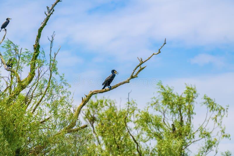 Kleiner Kormoran im Baum stockfotos
